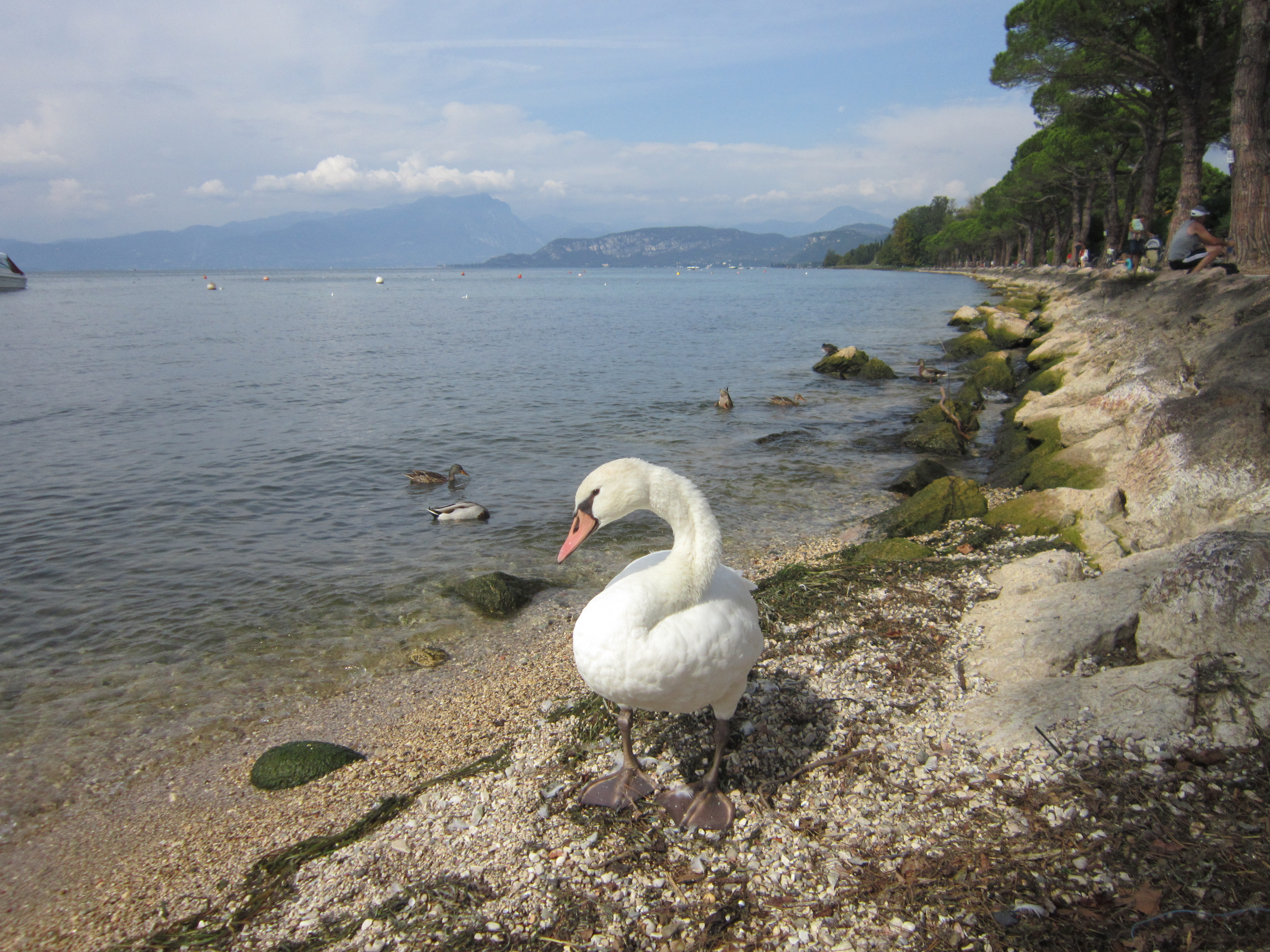 A swan on the shore of Lake Garda on a sunny day