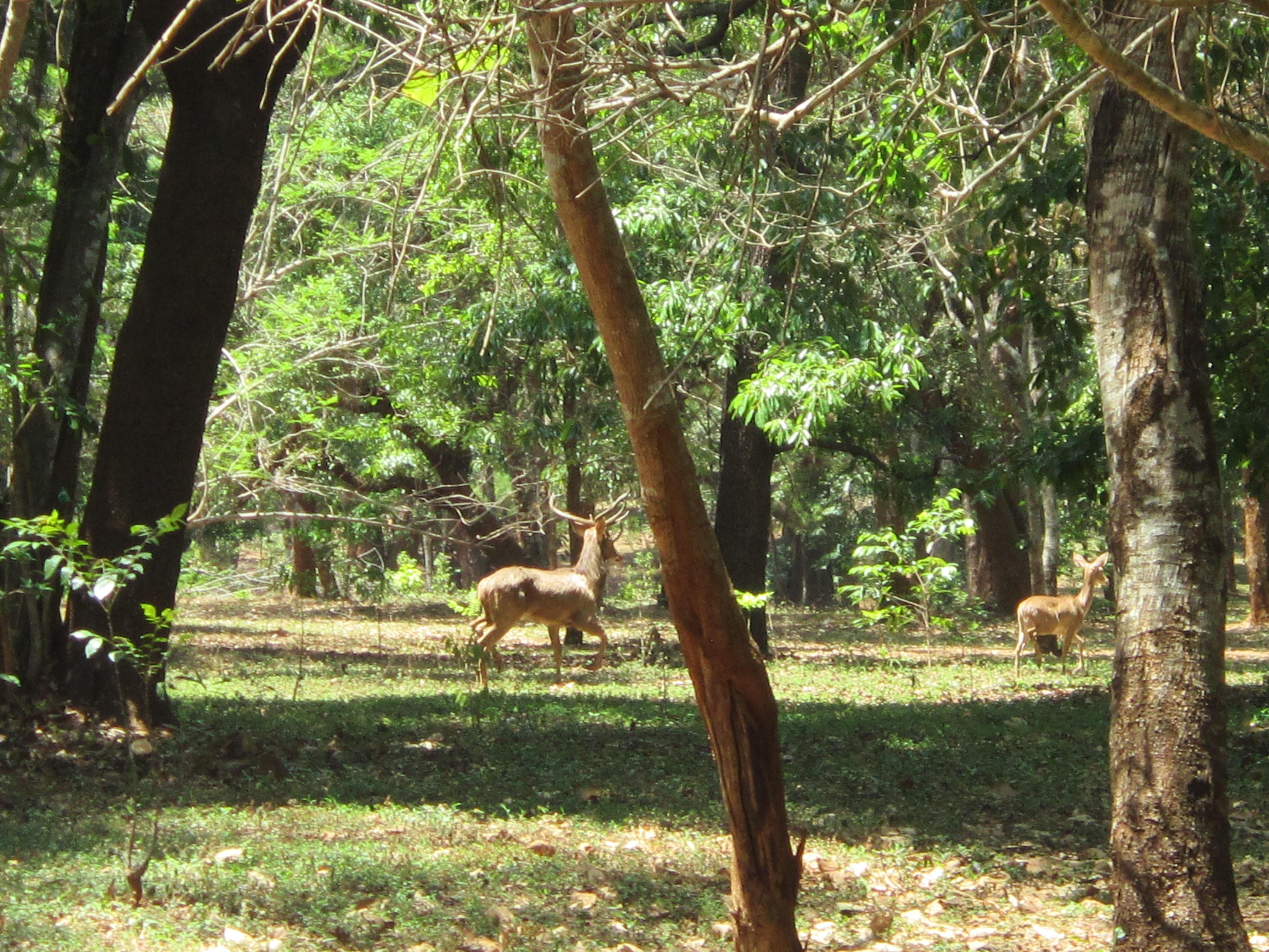 Pyin Oo Lwin - National Kandawgyi Botanical Gardens - deer