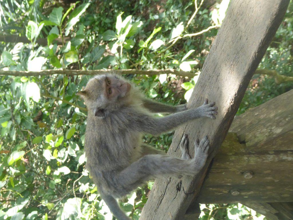 A Monkey in the monkey forest in Ubud (backpacking ubud)
