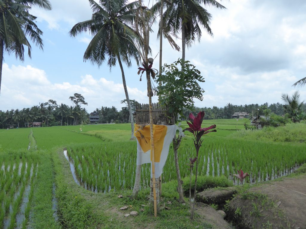 Rice field in the Ubud town area - backpacking ubud blog