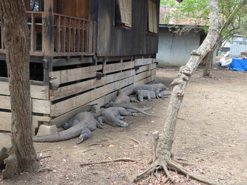 Komodo Islands Travel Guide - several Komodo Dragons lying around the rangers area on Rinca