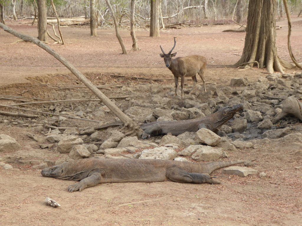 Komodo Islands Travel Guide -  A deer attempts to reach a watering hole occupied by 2 Komodo Dragons