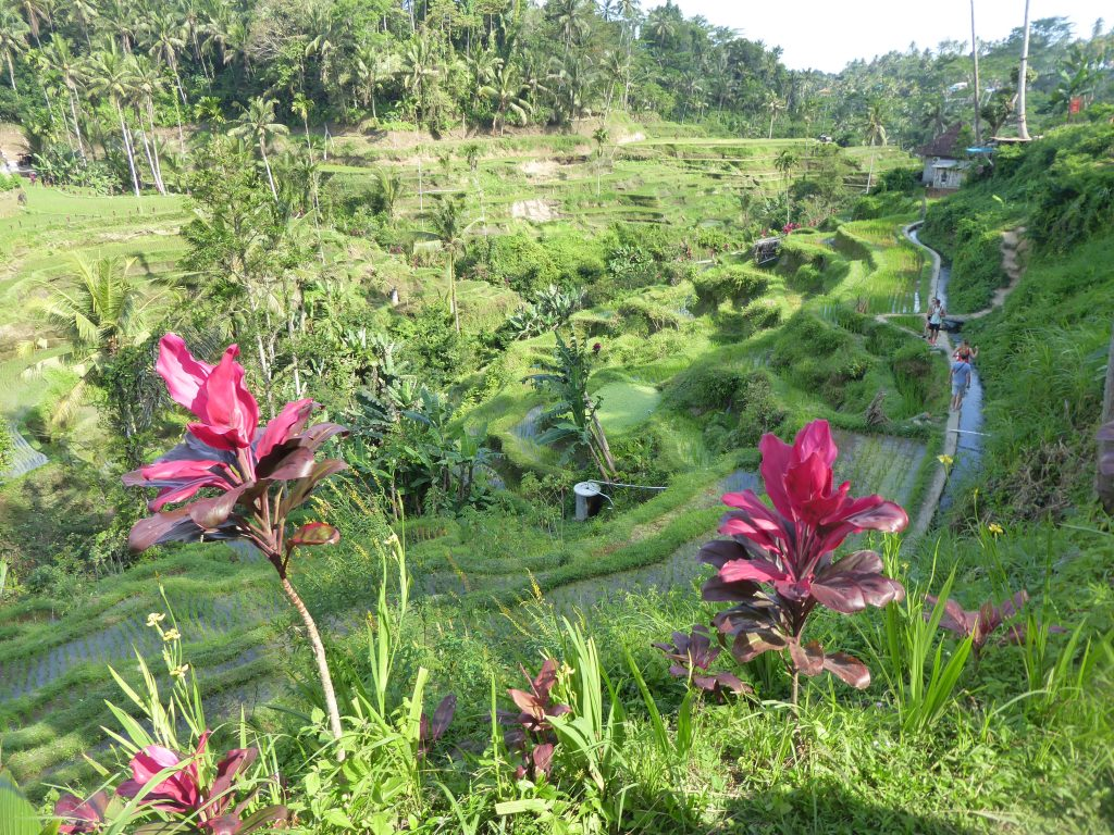 The Tegallalang rice terraces - highlight of backpacking Ubud