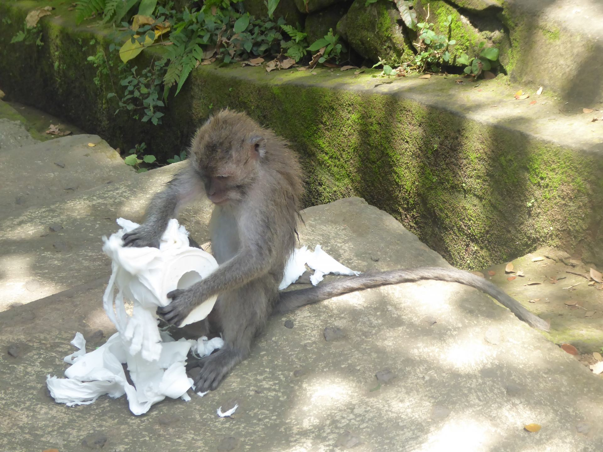 Southeast Asia backpacking tips - beware of monkeys stealing form you. This monkey is ripping up a stolen toilet roll.
